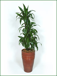 Dracaena_fragrans_Janet-graig