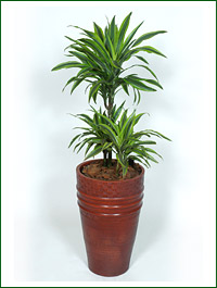 Dracaena_fragrans_Lemon-lime