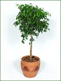 Ficus_benjamina