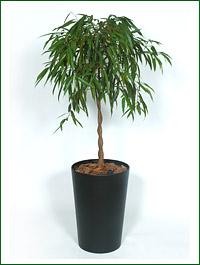 Ficus_bennadijkii