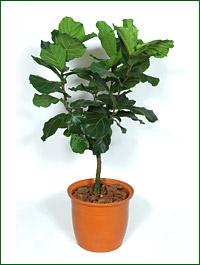 Ficus_lyrata