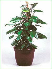 Philodendron_emerald