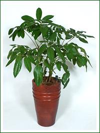 Schefflera_actinophylla