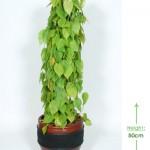 Nafa 40cm Height: 50cm